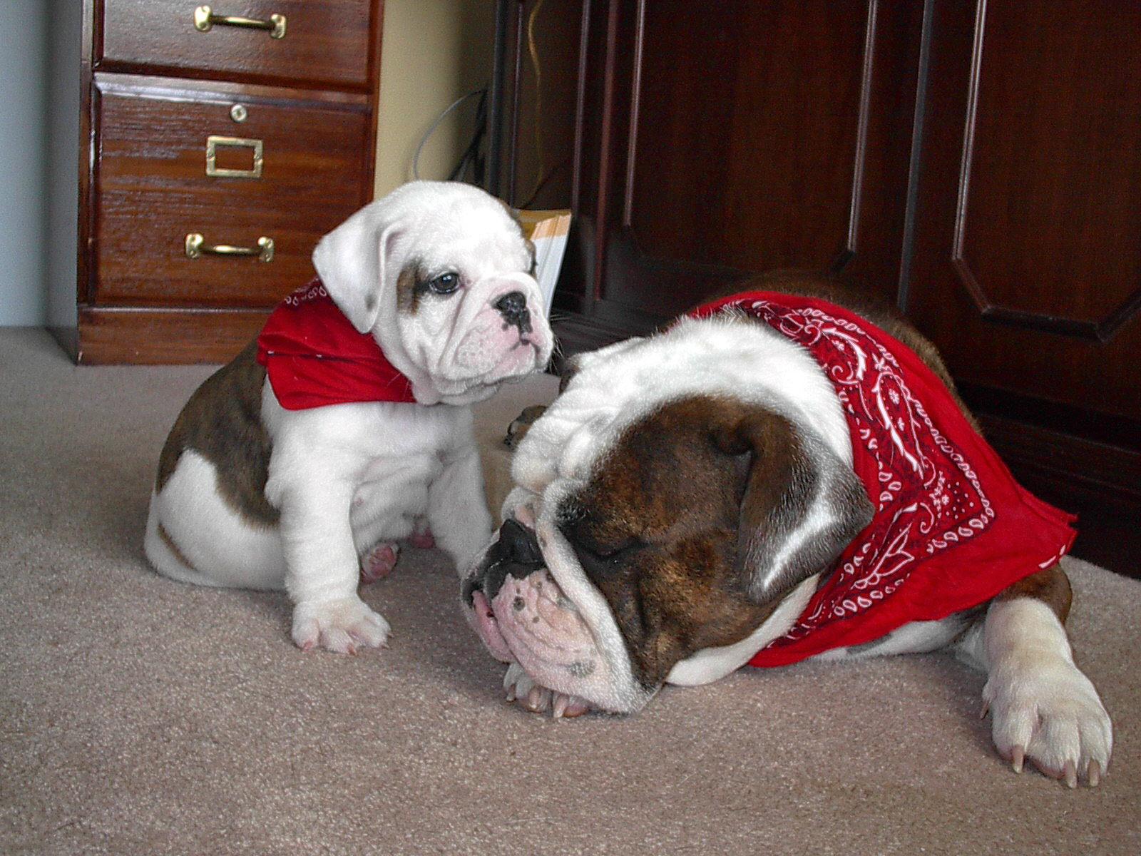 http://www.bulldogsoftimberridge.com/files/rox_pup_bandana.jpg